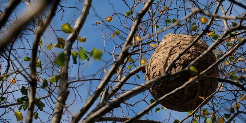 nid frelon asiatique en hauteur