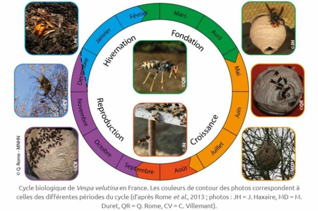 schema du cycle biologique du frelon asiatique