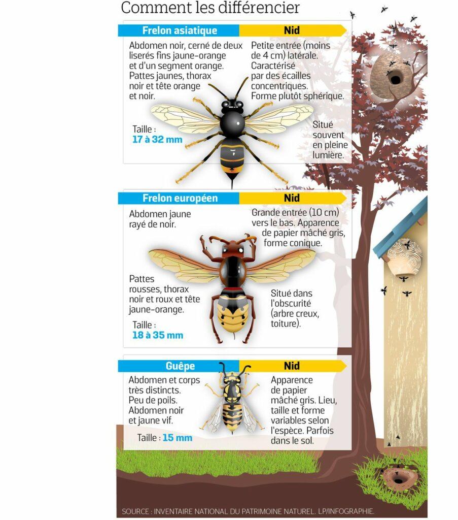infographie frelon asiatique et frelon européens et guêpe