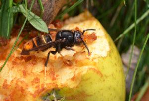 Frelon asiatique sur un fruit