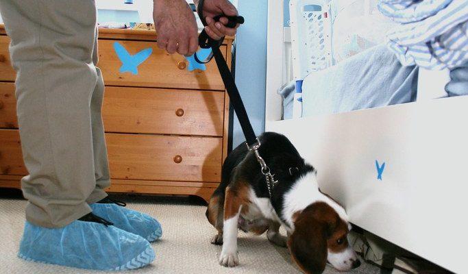 chien détecteur de punaise de lit dans une chambre