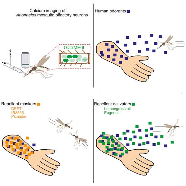 Un bras, sans répulsif le moustique est attiré, avec un répulsif naturelle le moustique est repoussé, avec un répulsif synthétique le moustique ne sent pas l'odeur humaine