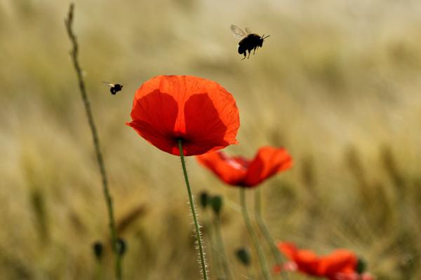 Des coquelicots en fleurs et des insectes volants