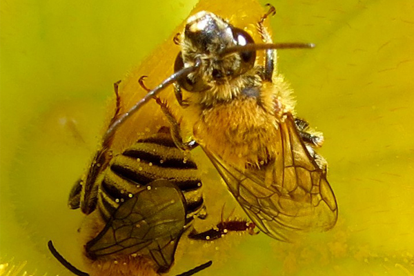 Deux abeilles fouisseuses butinant une fleur jaune