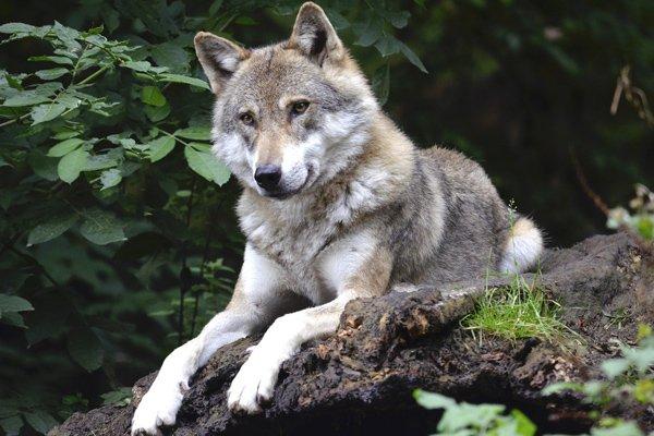 Loup à l'extérieur dans la nature