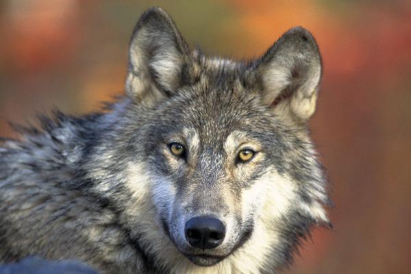 Loup à l'extérieur