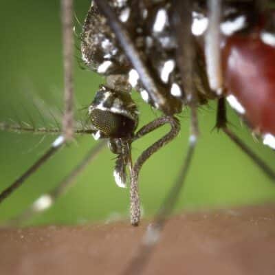 gros plan du moustique Aèdes aegypti