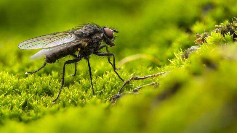 Une mouche domestique dans la nature