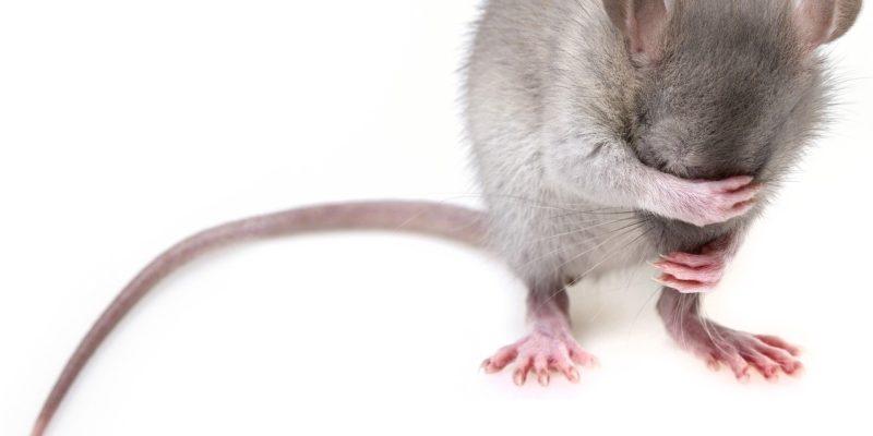 souris qui cache son visage sur fond blanc