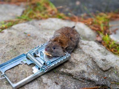 image d'un rat piégé dans un piège métallique