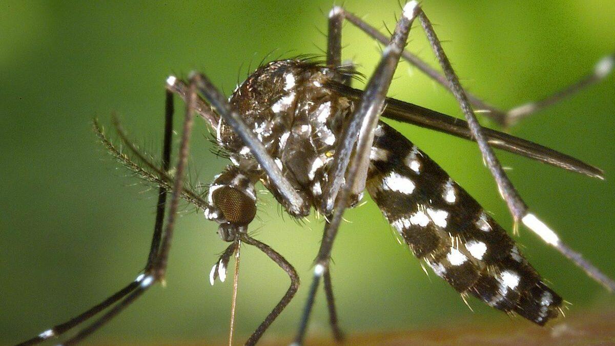 gros plan moustique tigre