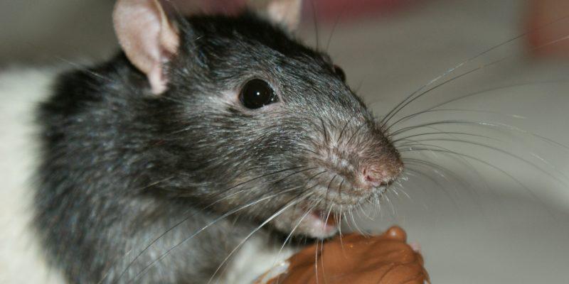 Rat en gros plan