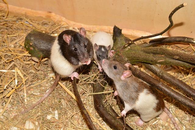 Rats sur une branche d'arbre