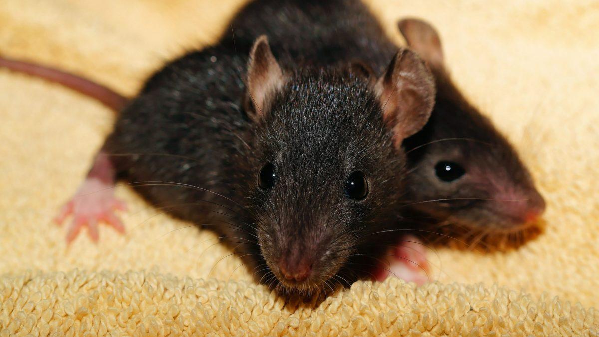 Photo rats noirs