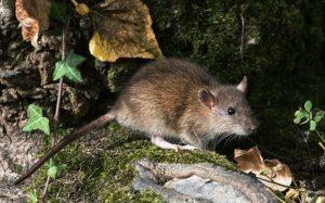 rat brun sur un tronc d'arbre