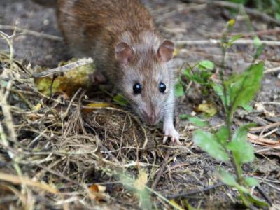 rat entrain de marcher dans la forêt