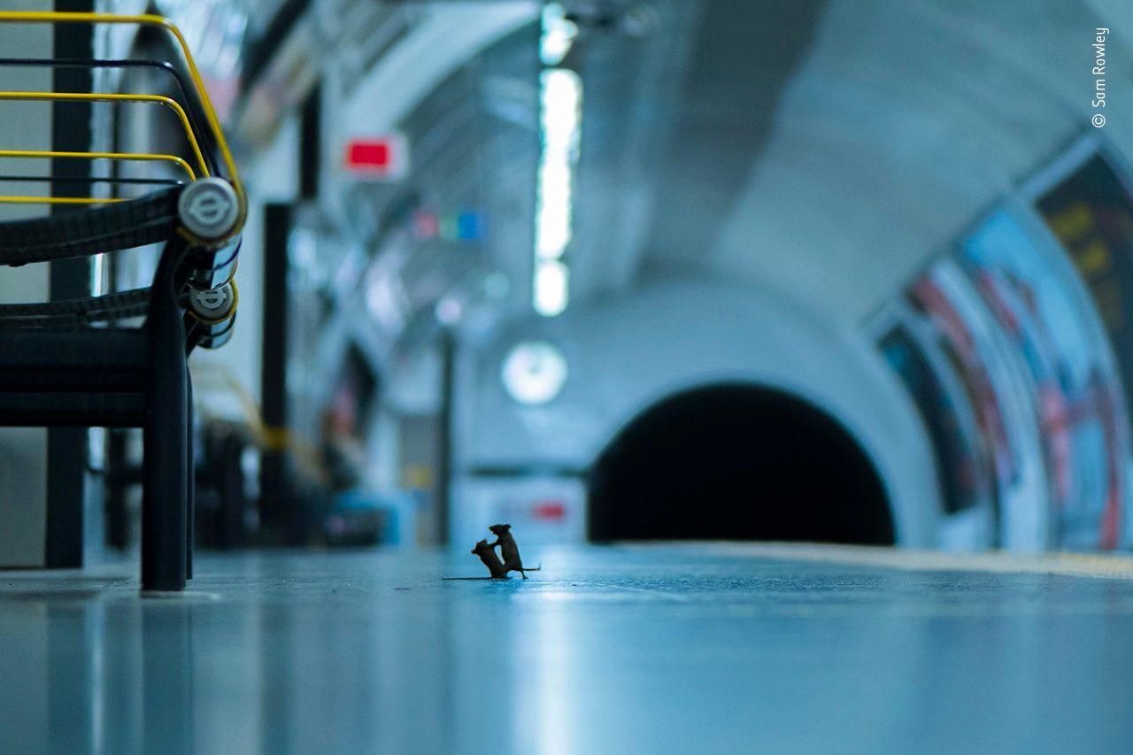 Deux souris se disputent sur le quai d'un métro